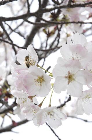 File:Japanese Sakura.jpg