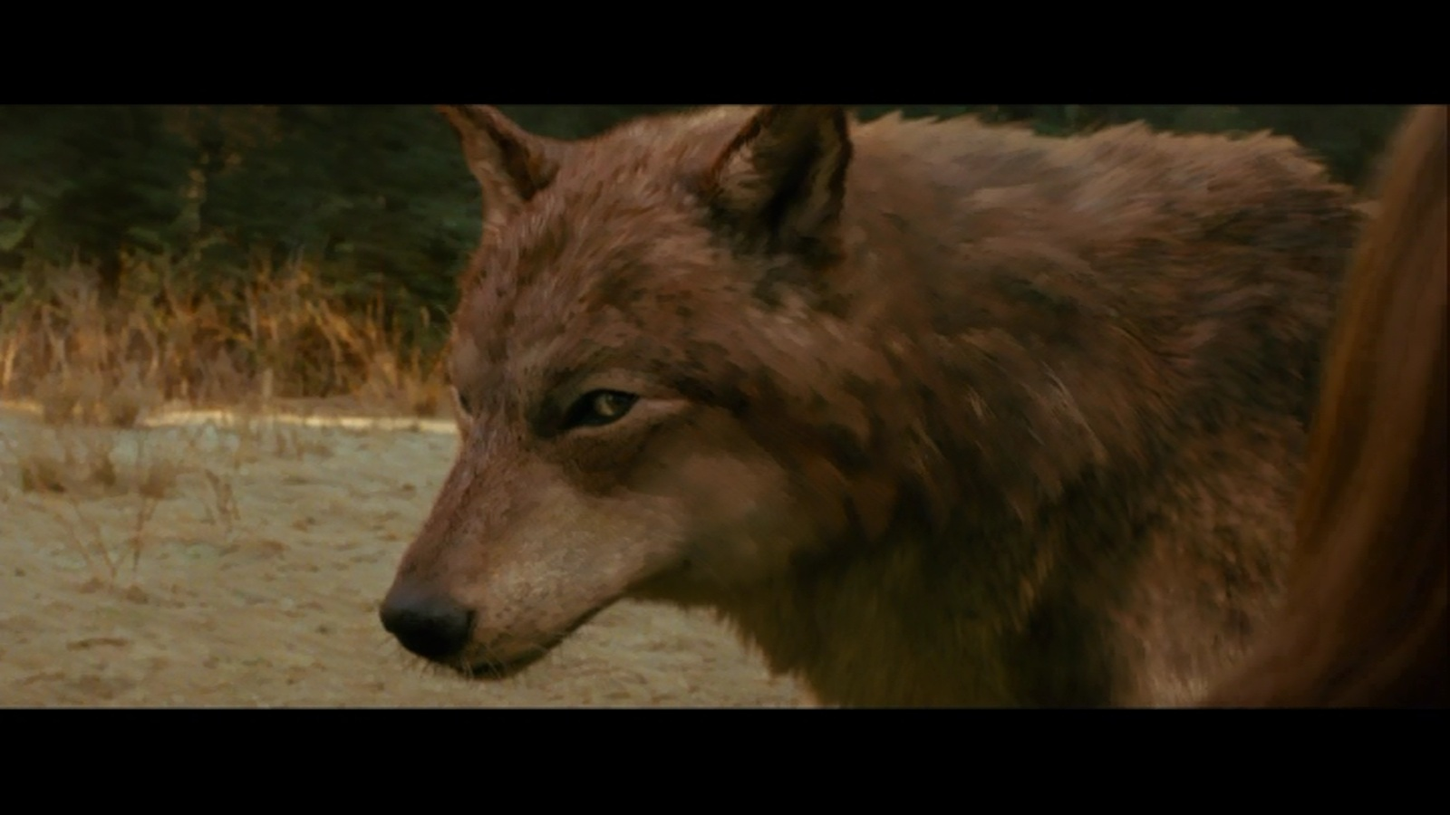 New moon wolf pack in wolf form