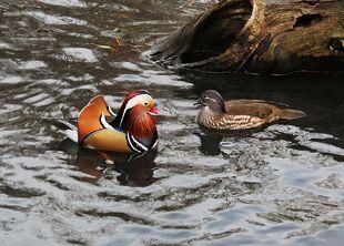 1024px-Mandarin Duck pair