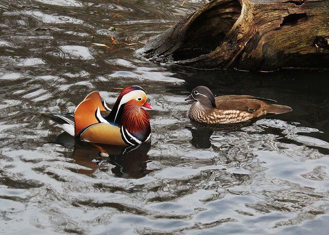 File:1024px-Mandarin Duck pair.jpg