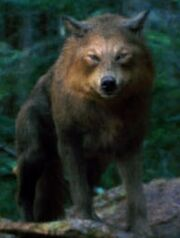 Wolves - Copy