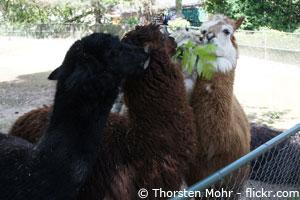 Alpaka-in-freilandhaltung.jpg