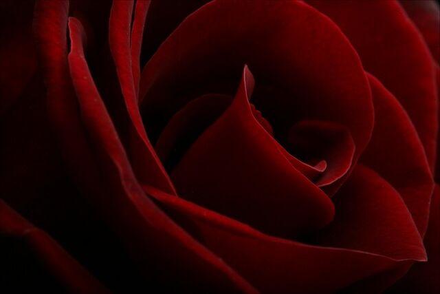 File:Red-roses.jpg