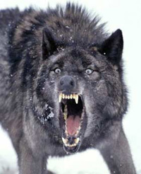 File:Wolf02.jpg