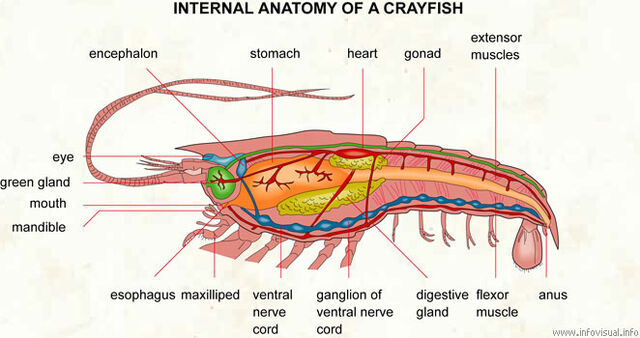File:025 Internal anatomy of a crayfish.jpg