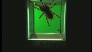 640px-Turantula