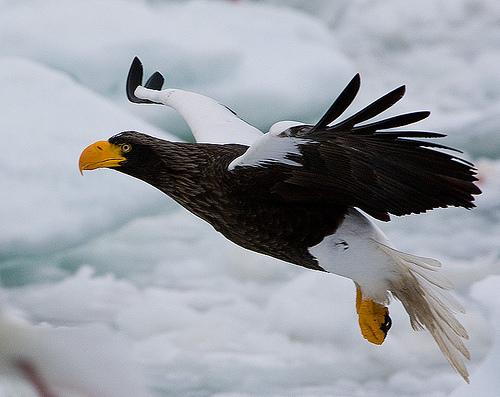 File:Steller's Sea Eagle.jpg