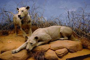 The Tsavo Man-Eaters