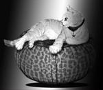 Sabami the cat