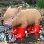 File:PiginbootsAvatar.jpg