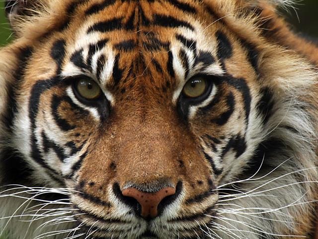 File:Sumatran-Tiger-Hero.jpg