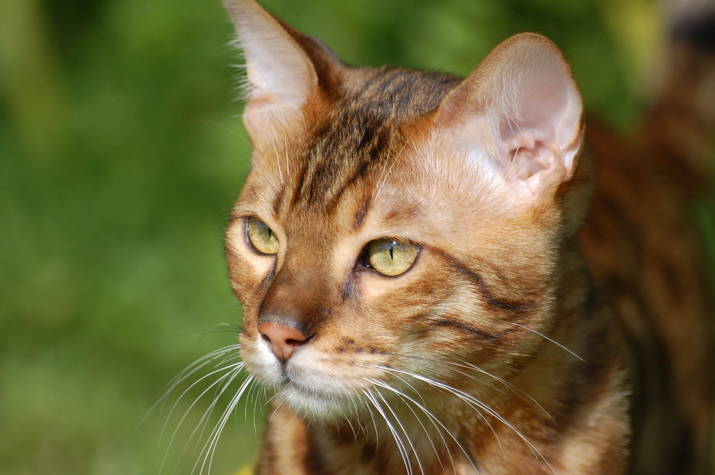 Warrior Cats Golden Stripe