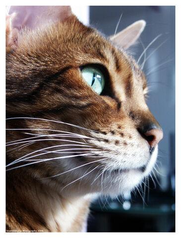 File:Dallas Cat.jpg