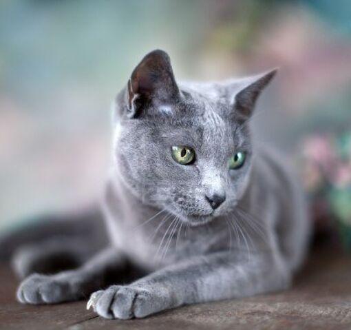 File:Russian-blue-cat-7.jpg