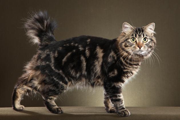 File:AP-FITOOU American Bobtail Cat.jpg