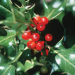 HollyBerries