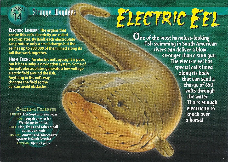 Image - Electric Eel front.jpg | Wierd N'wild Creatures ...
