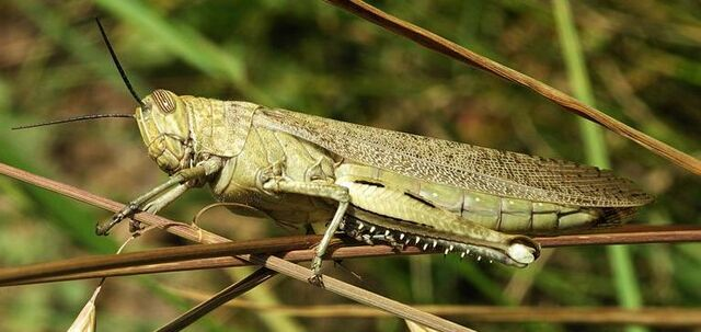 File:Egyptian grasshopper.jpg