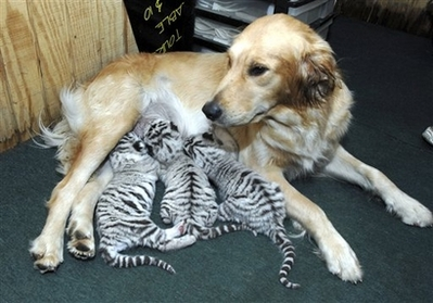 File:Dog adopts tigers.jpg