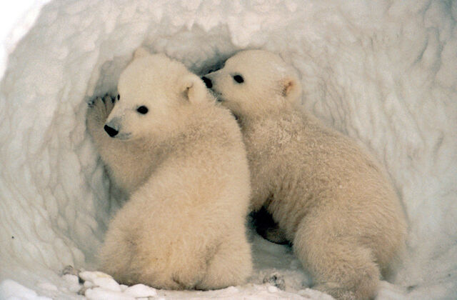 File:Polar bear cubs.jpg