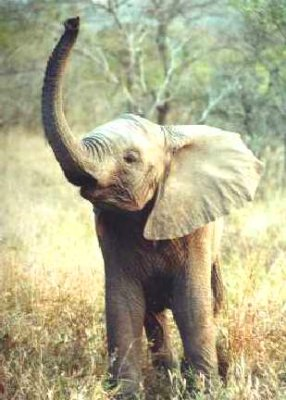 File:BabyElephant.jpg