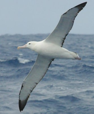 File:Albatross.jpg