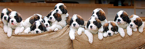 File:ThirteenStBernardPuppies.jpg