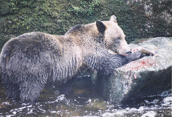 File:Anan Brown Bear.jpg