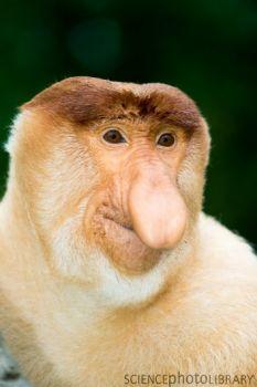 Proboscis Monkey Wikratts The Wild Kratts Wiki Fandom