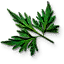 File:Tw3 fools parsley leaves.png