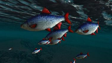 Fish of Skellige