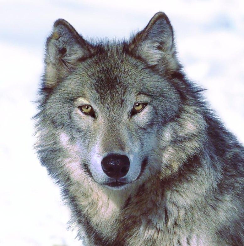 Duncan MacDuncan Wolf