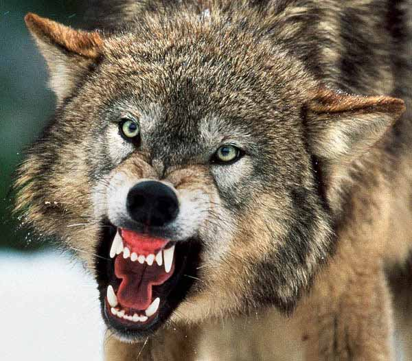 Image Gallery Mean Wolf
