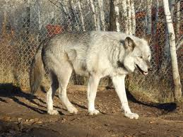 A Guide to Wolf Subspecies Latest?cb=20120906034628