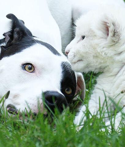 File:Dog-adopts-lion-5-510x600.jpg