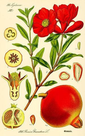 File:Illustration Punica granatum.jpg