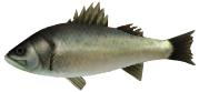 File:Majora's Mask 3D Fish Termina Seabass (Ocean Fishing Hole).png