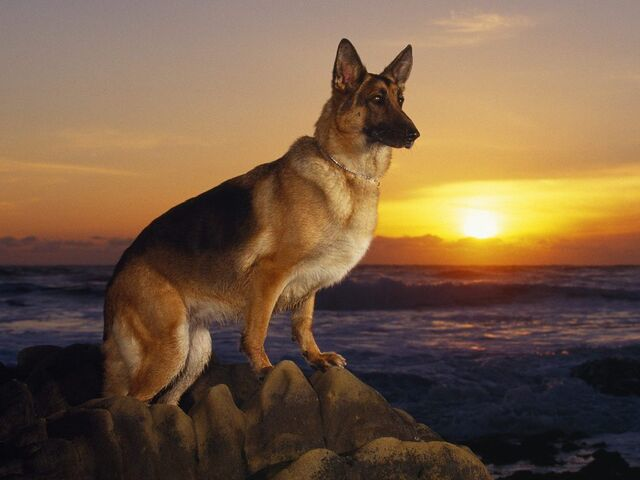 File:German-shepherd-training.jpg