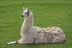 File:Llama1.jpg