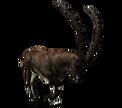 Apline Ibex (Male)
