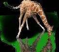 GiraffeRm
