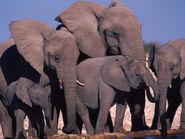 African Elephant 7.27.2012 whytheymatter HI 58709