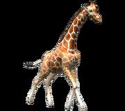 GiraffeRf