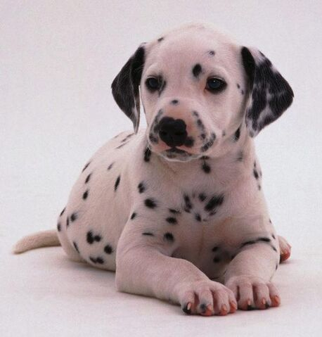 File:Dalmatian puppies.jpg