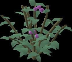 Cadava bush