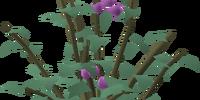 Cadava berries