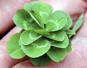 21 leaf clover