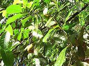Mace Nutmegs