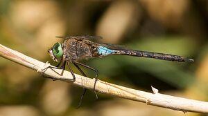 DarnerDragonflyIRL