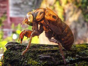 CicadaShellIRL